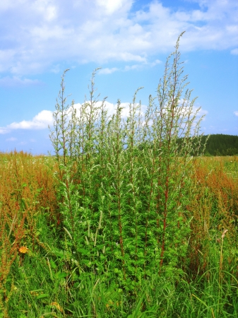 john henry: flowering mugwort and sorrel in a meadow and blue sky with clouds in background Stock Photo