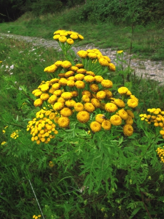 vulgare: Tansy  Tanacetum vulgare, or Chrysanthemum vulgare