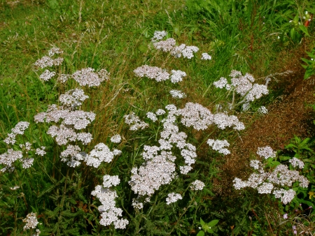 yarrow  Achillea millefolium  Stock Photo - 17218364