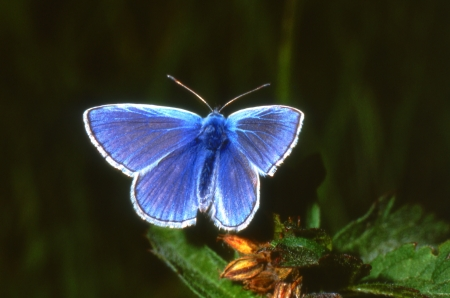 polyommatus: Common Blue butterfly, Polyommatus icarus, on a dark background