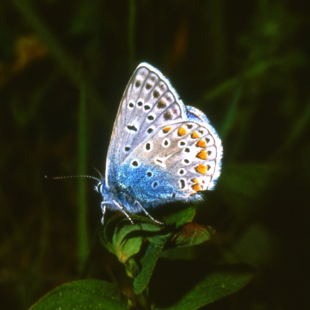 Common Blue butterfly, Polyommatus icarus photo