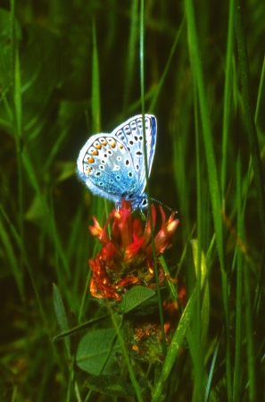 Blue butterfly on flower, Polyommatus icarus photo