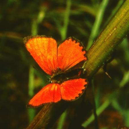 virgaureae: Scarce copper, Lycaena virgaureae on a blade of grass