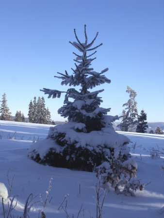 snowy small spruce on a meadow in winter photo
