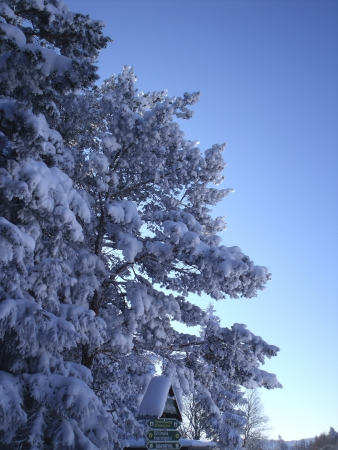 snowy treetops compositing for your winter shots photo