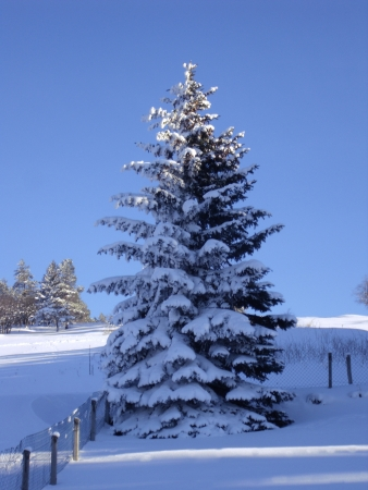 covered spruce also compositing for your winter shots photo