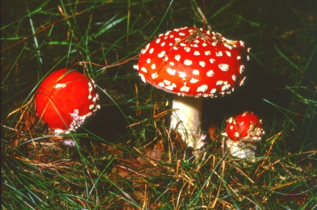 three fly agarics or fly amanitas 2400 dpi scan from 6x6 slide, not interpolated magnification Stock Photo - 17903726