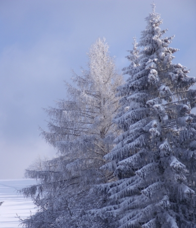 snowy treetops compositing for your winter shots Stock Photo - 17225597