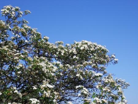 crata�gus: Las ramas de espino, Crataegus, tambi�n para pegar una esquina de las vacunas de su paisaje Foto de archivo