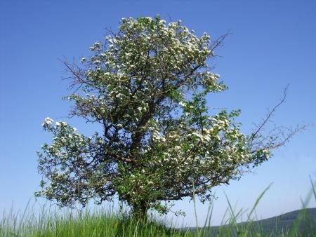 crata�gus: solo �rbol en flor de espino Crataegus