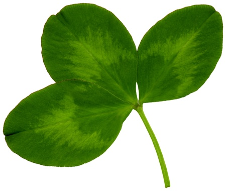 name day: Very large clover leaf in spring on white background, exempt, 2400 dpi scan, no interpolated magnification