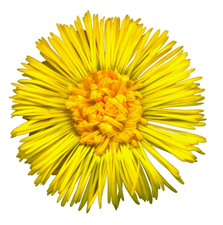 whitsun: Very large Coltsfoot blossom on white background, exempt, 2400 dpi scan, no interpolated magnification