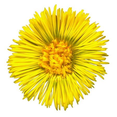 Very large Coltsfoot blossom on white background, exempt, 2400 dpi scan, no interpolated magnification photo