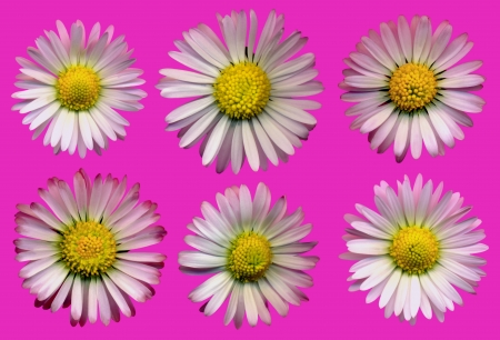 whitsun: Very large daisy blossoms on pink background, exempt, 2400 dpi scan, no interpolated magnification