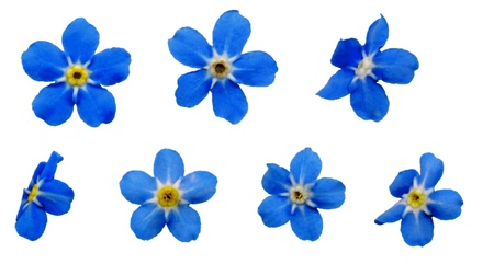 Seven large Forget-me-nots blossoms on white background, exempt, 2400 dpi scan, no interpolated magnification