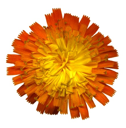 whitsun: Very large Orange Hawkweed blossom on white background, exempt, 2400 dpi scan, no interpolated magnification Stock Photo
