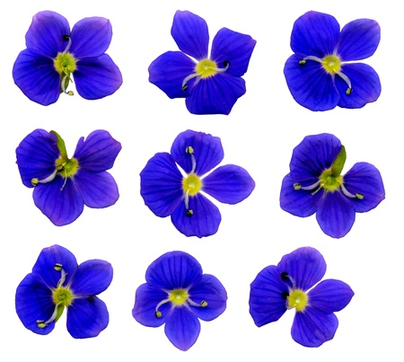 whitsun: Very large speedwell flowers on white background, exempt, 2400 dpi scan, no interpolated magnification Stock Photo
