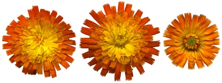 whitsun: Three large Orange Hawkweed blossoms on white background, exempt, 2400 dpi scan, no interpolated magnification