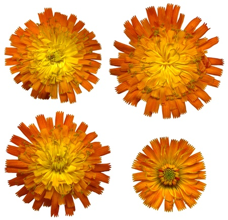 hawkweed: Four large Orange Hawkweed blossoms on white background, exempt, 2400 dpi scan, no interpolated magnification