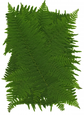 whitsun: Texture of leaves of worm fern, also suitable as a background or pattern, 2400 dpi scan, no interpolated magnification