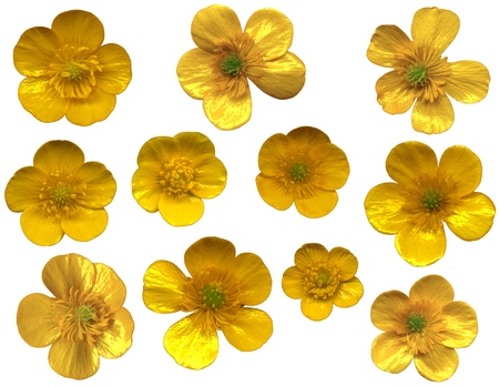 whitsun: Very large buttercups blossoms on white background