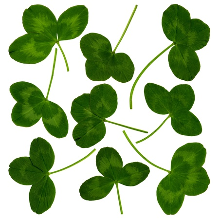whitsun: Very large clover leaves in spring on white background, exempt, 2400 dpi scan, no interpolated magnification