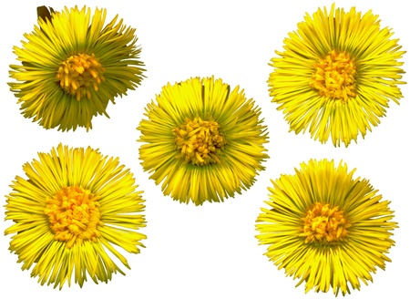whitsun: Five large Coltsfoot blossoms on white background, exempt, 2400 dpi scan, no interpolated magnification