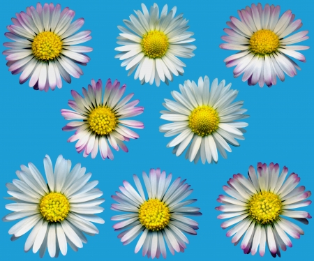 whitsun: Very large daisy blossoms on blue background, exempt, 2400 dpi scan, no interpolated magnification
