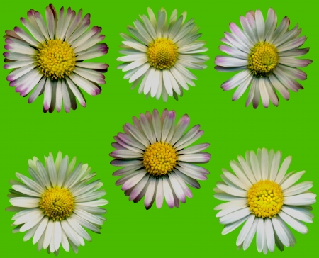 whitsun: Very large daisy blossoms on green background