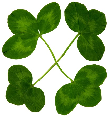 Figure of four large clover leaves in spring on white background, exempt, 2400 dpi scan, no interpolated magnification photo