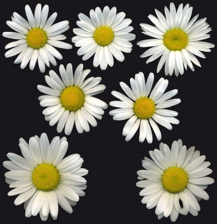 whitsun: Very large oxeye daisy blossoms on black background, exempt, 2400 dpi scan, no interpolated magnification