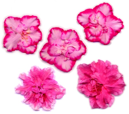 azaleas: five pink flowers of two different houseplants from azaleas (Rhododendron simsii) on a white background Stock Photo