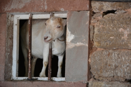 curiously: A goat looking curiously out the window