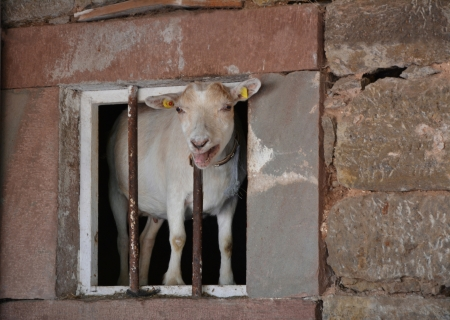 bleating: A bleating goat looking curiously out the window