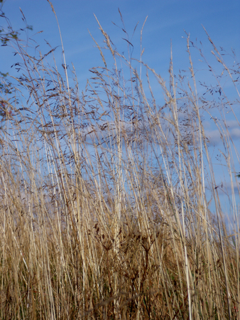 Drought grass against a blue sky 1