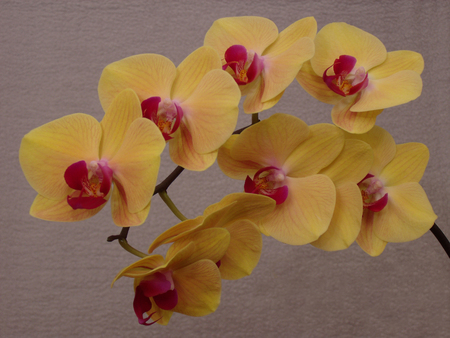 orchid house: yellow moth orchids (Phalaenopsis) 1
