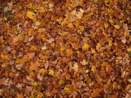 maple trees: Pattern of colorful leaves of maple trees in autumn