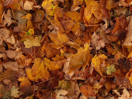 maple trees: Pattern of colorful leaves of maple trees in autumn 3