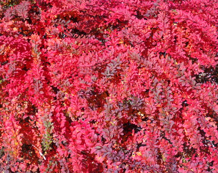 Pattern of colorful leaves of a red hedge in autumn