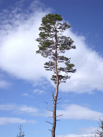 Pine tree in front of a blue sky (Pinus) for you compositing