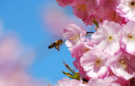 bee on flower: Bee flying at cherry blossoms.