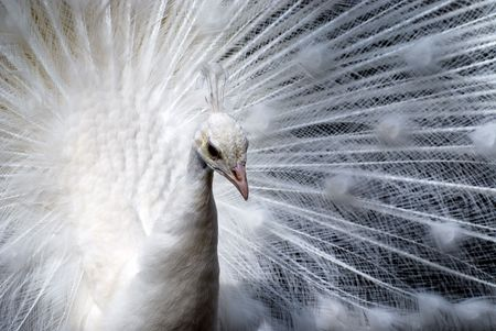 Closeup of a white peacock. photo