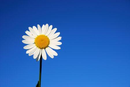 Daisy flower against blue sky photo