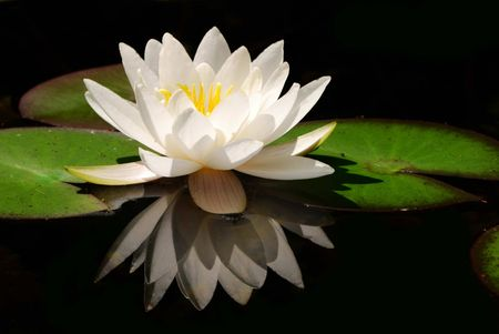 White water lily in a dark pond. Stock Photo