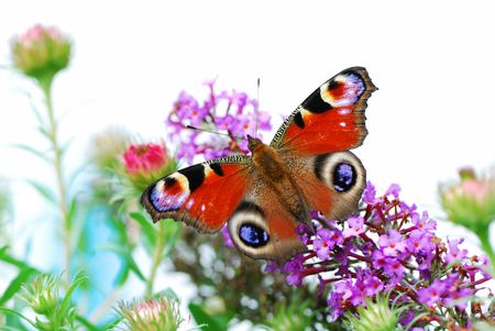Macro of a peacock butterfly partly isolated.