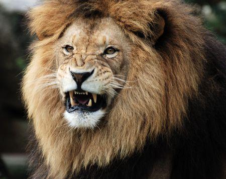 Portrait of a male lion.