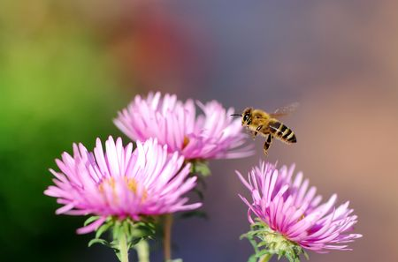 Flying honeybee approaching a pink aster.