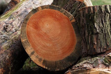 Tree rings on cut wood. photo