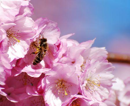 fleurs de cerisiers: Bee assis dans cerisiers.