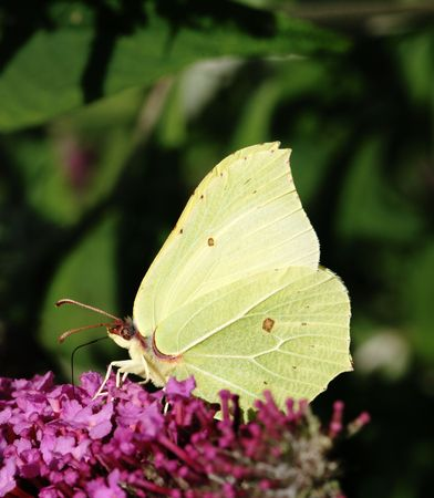 White brimstone butterfly sitting on a lilac flower. Stock Photo - 2958576
